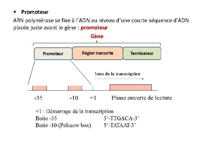 § Promoteur ARN polymérase se fixe à l'ADN au niveau d'une courte séquence d'ADN