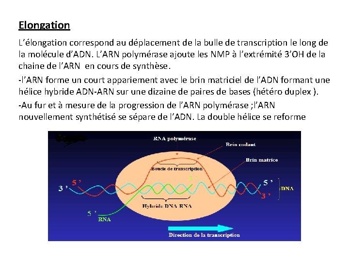 Elongation L'élongation correspond au déplacement de la bulle de transcription le long de la