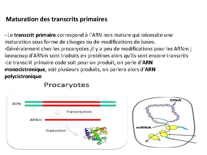 Maturation des transcrits primaires - Le transcrit primaire correspond à l'ARN non mature qui