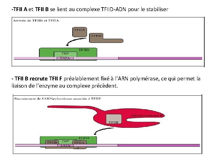 -TFII A et TFII B se lient au complexe TFIID-ADN pour le stabiliser -