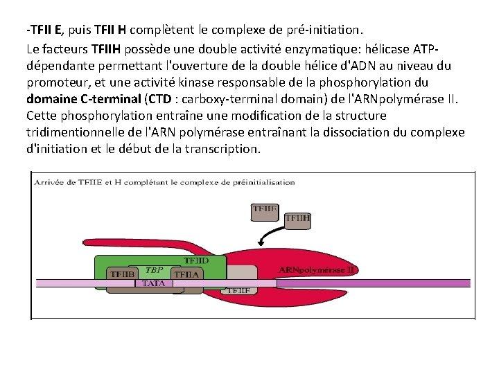 -TFII E, puis TFII H complètent le complexe de pré-initiation. Le facteurs TFIIH possède