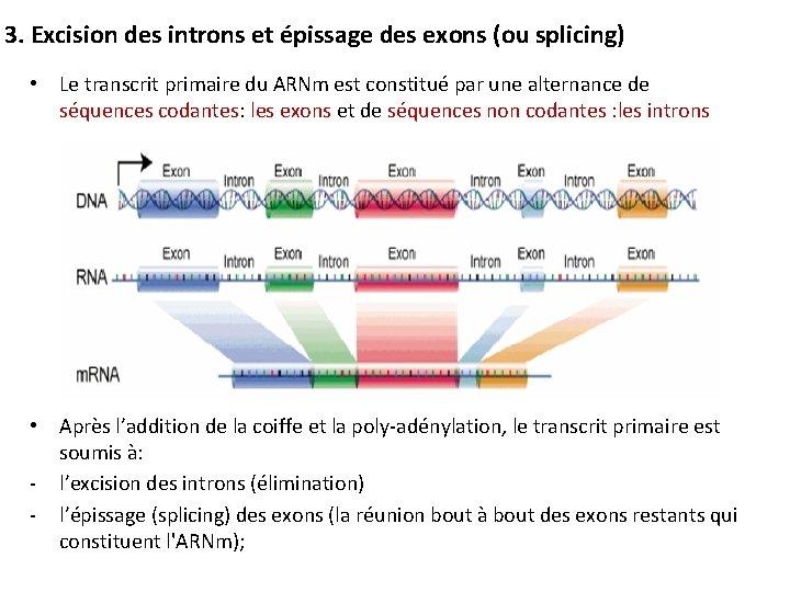 3. Excision des introns et épissage des exons (ou splicing) • Le transcrit primaire