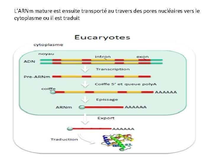 L'ARNm mature est ensuite transporté au travers des pores nucléaires vers le cytoplasme ou