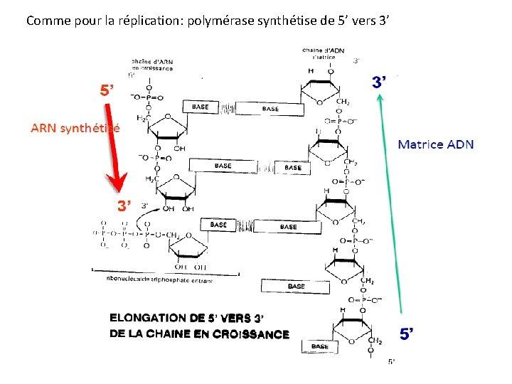 Comme pour la réplication: polymérase synthétise de 5' vers 3'