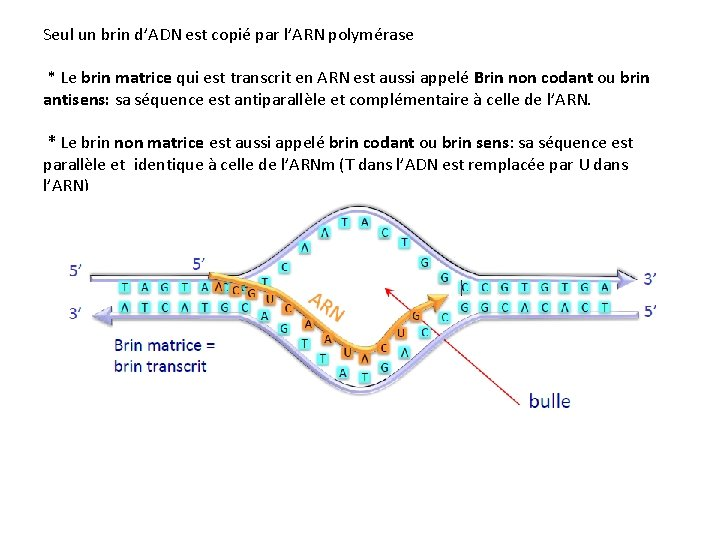 Seul un brin d'ADN est copié par l'ARN polymérase * Le brin matrice qui