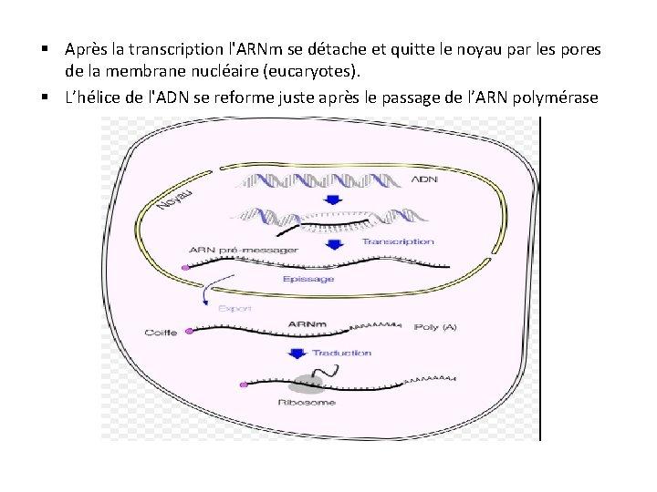 § Après la transcription l'ARNm se détache et quitte le noyau par les pores