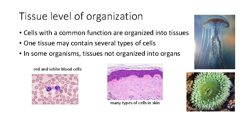Tissue level of organization • Cells with a common function are organized into tissues
