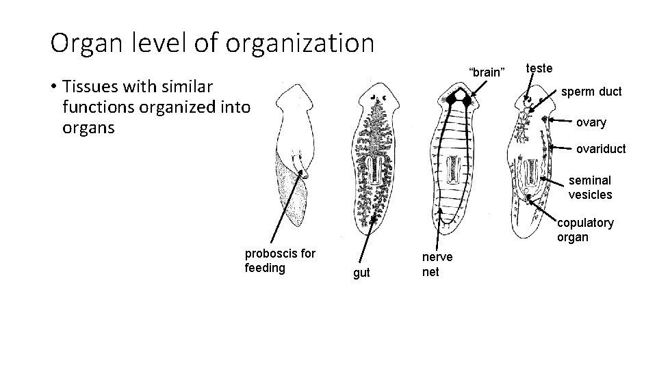 "Organ level of organization ""brain"" • Tissues with similar functions organized into organs teste"