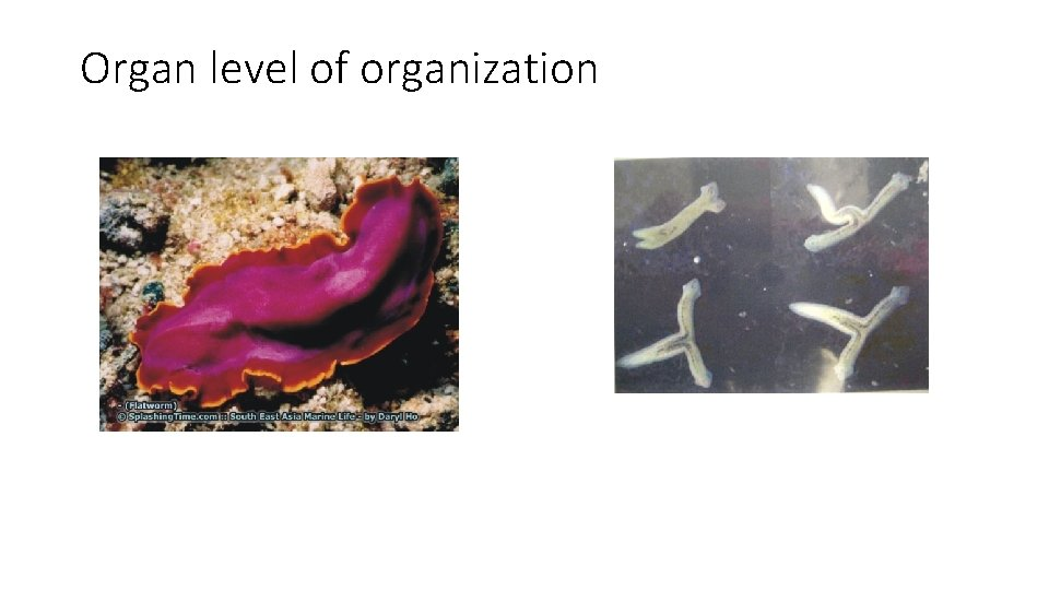 Organ level of organization