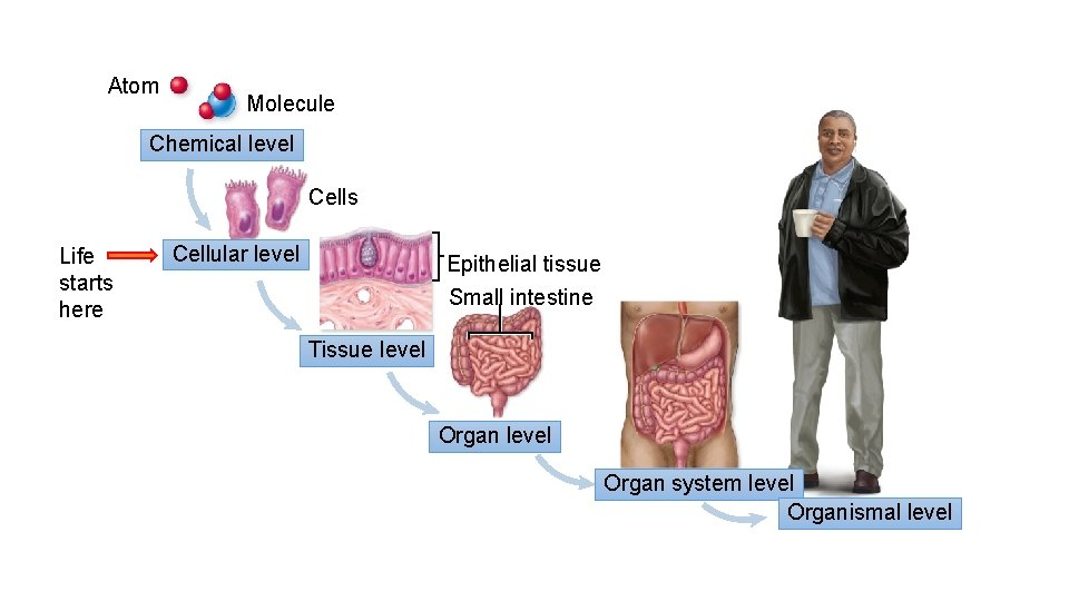 Atom Molecule Chemical level Cells Life starts here Cellular level Epithelial tissue Small intestine