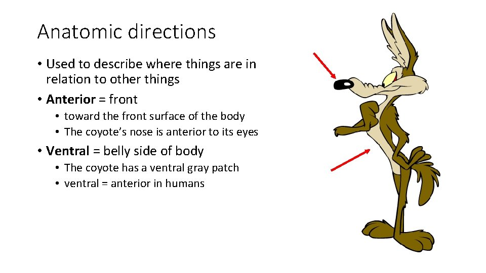 Anatomic directions • Used to describe where things are in relation to other things