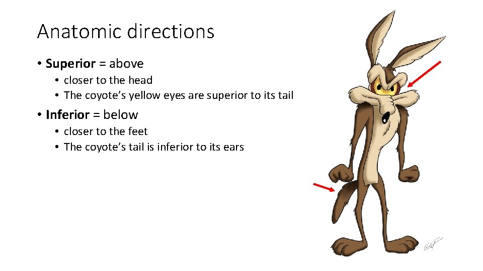 Anatomic directions • Superior = above • closer to the head • The coyote's