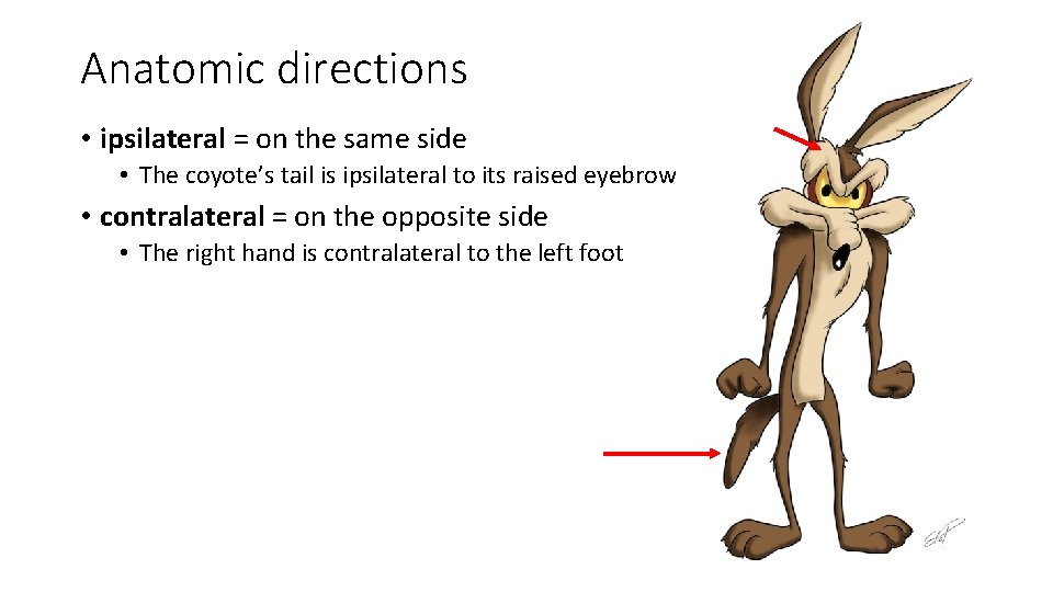 Anatomic directions • ipsilateral = on the same side • The coyote's tail is