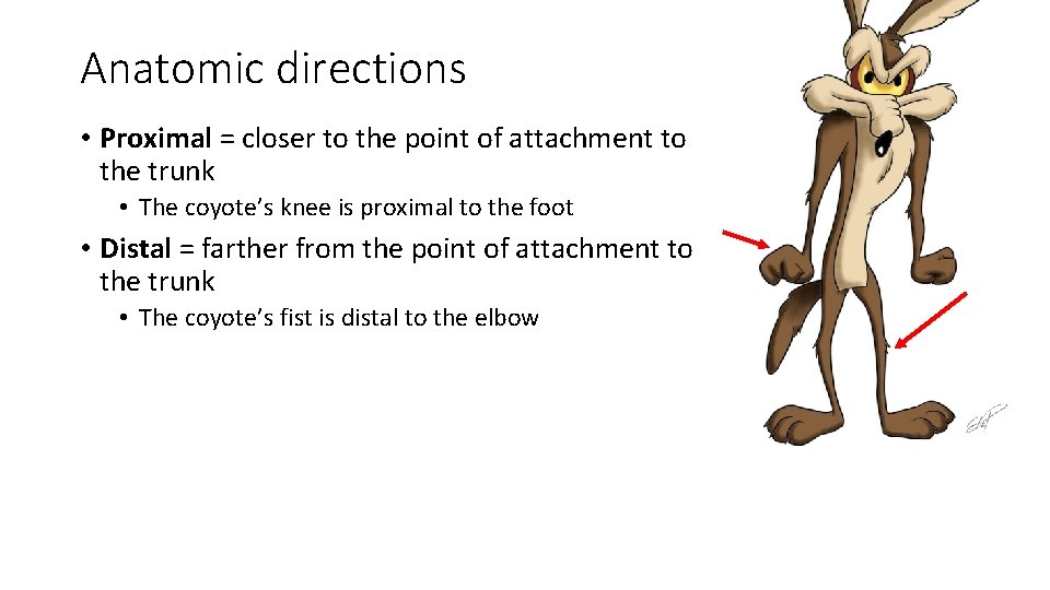 Anatomic directions • Proximal = closer to the point of attachment to the trunk