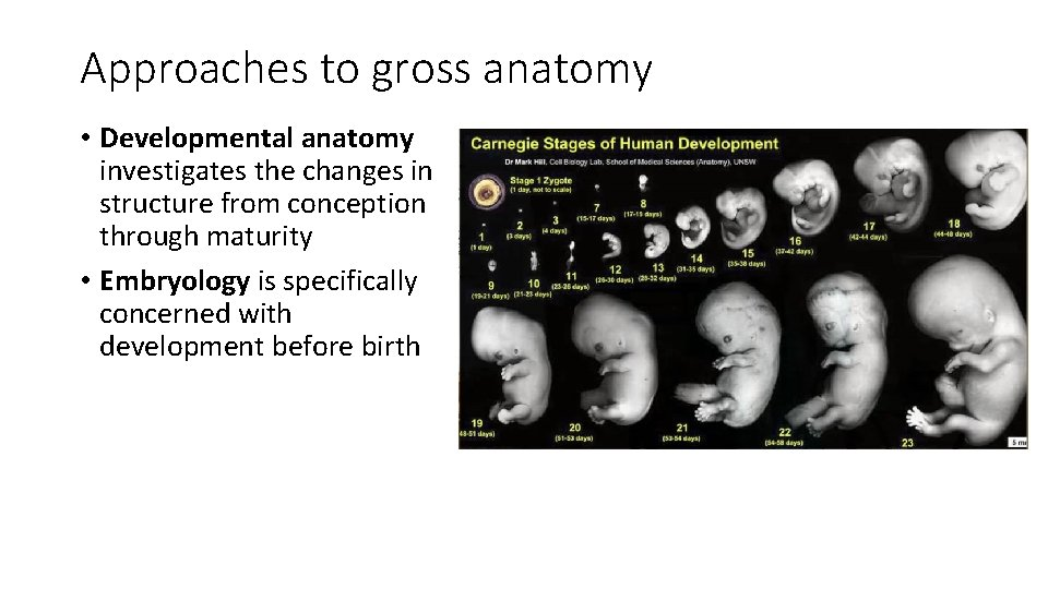 Approaches to gross anatomy • Developmental anatomy investigates the changes in structure from conception