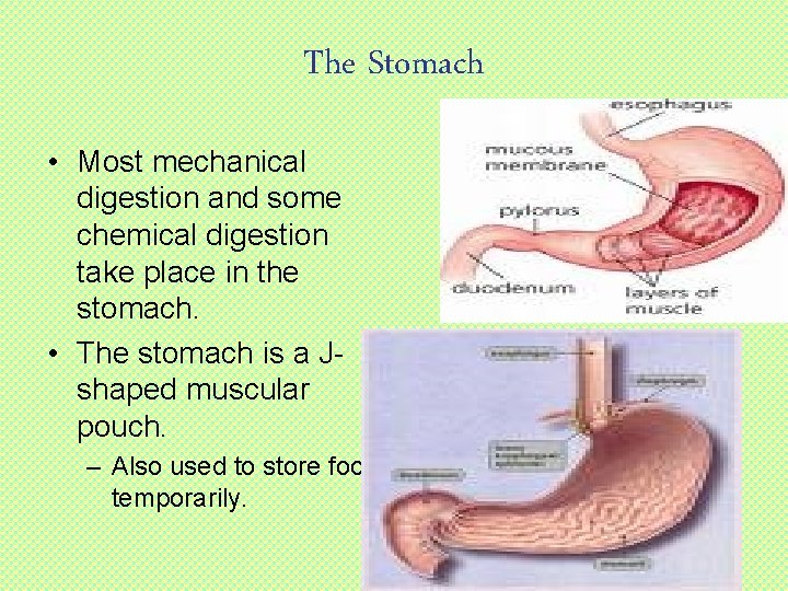 The Stomach • Most mechanical digestion and some chemical digestion take place in the