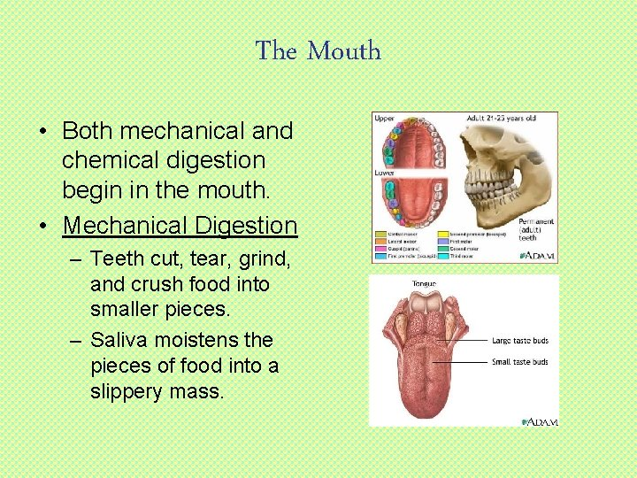 The Mouth • Both mechanical and chemical digestion begin in the mouth. • Mechanical