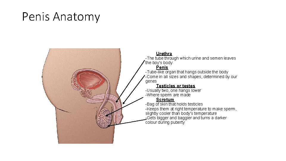 Penis Anatomy Urethra -The tube through which urine and semen leaves the boy's body