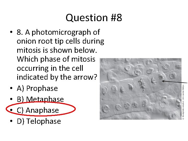 Question #8 • 8. A photomicrograph of onion root tip cells during mitosis is