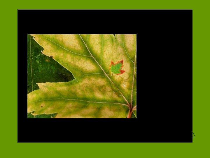 Like a Leaf Digistry. org play