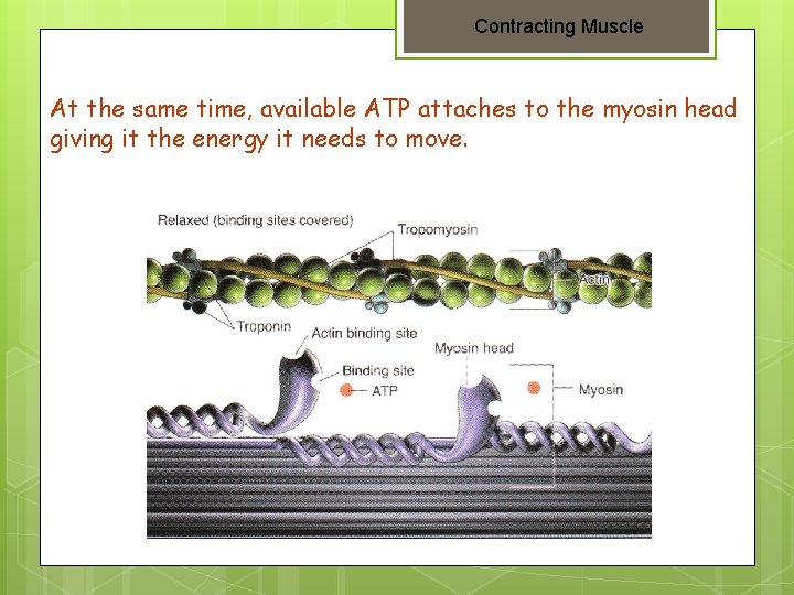 Contracting Muscle At the same time, available ATP attaches to the myosin head giving