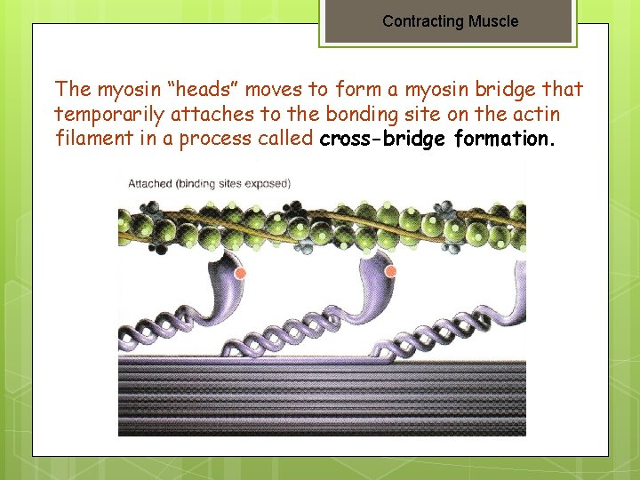 """Contracting Muscle The myosin """"heads"""" moves to form a myosin bridge that temporarily attaches"""