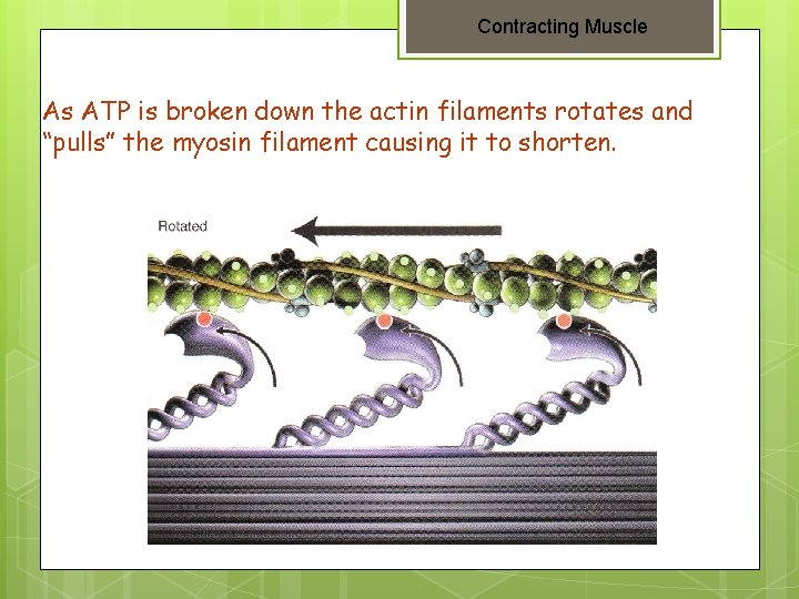 """Contracting Muscle As ATP is broken down the actin filaments rotates and """"pulls"""" the"""