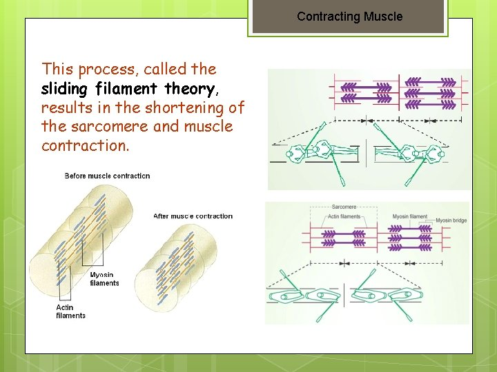 Contracting Muscle This process, called the sliding filament theory, results in the shortening of