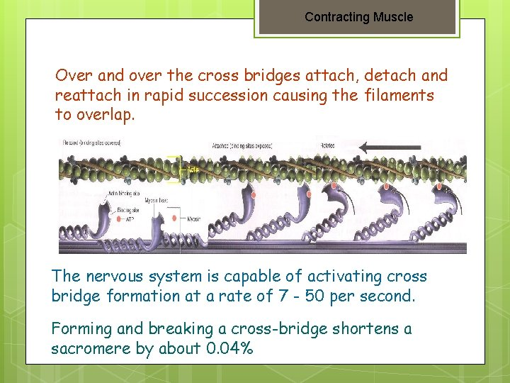 Contracting Muscle Over and over the cross bridges attach, detach and reattach in rapid