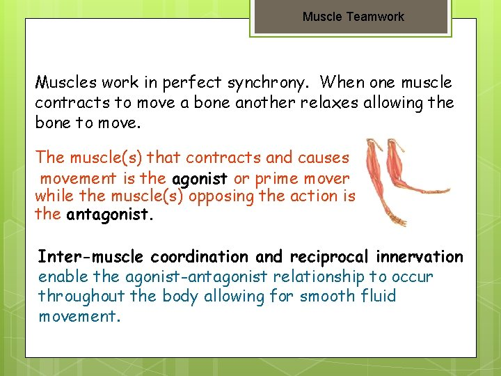 Muscle Teamwork Muscles work in perfect synchrony. When one muscle contracts to move a