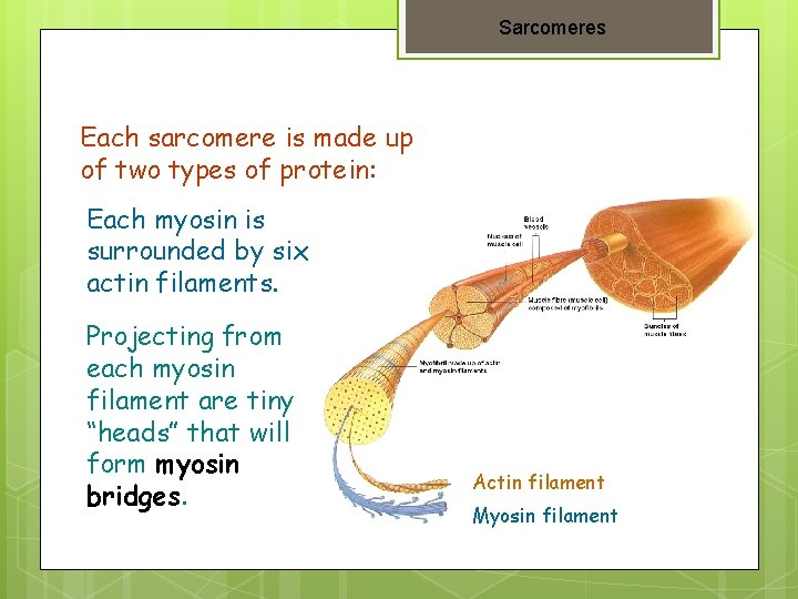 Sarcomeres Each sarcomere is made up of two types of protein: Each myosin is