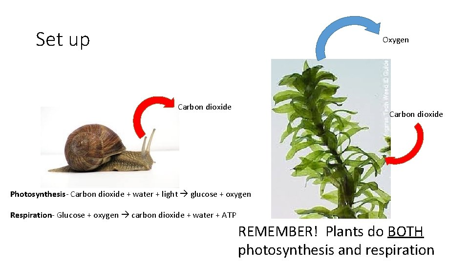 Set up Oxygen Carbon dioxide Photosynthesis- Carbon dioxide + water + light glucose +