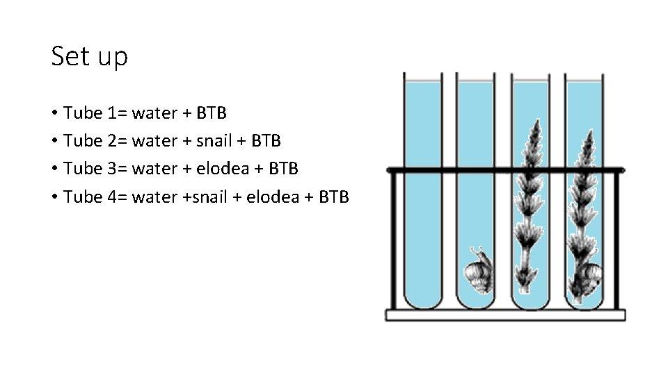 Set up • Tube 1= water + BTB • Tube 2= water + snail