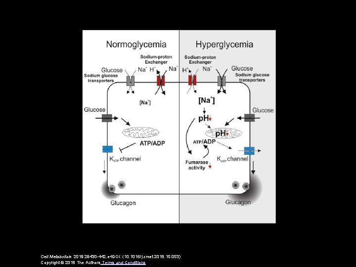Cell Metabolism 2019 29430 -442. e 4 DOI: (10. 1016/j. cmet. 2018. 10. 003)