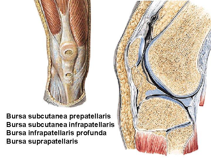 bursa infrapatellaris anatomie)