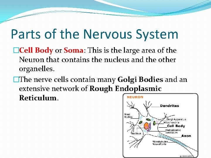 Parts of the Nervous System �Cell Body or Soma: This is the large area