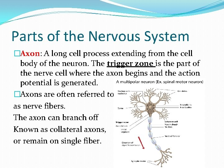 Parts of the Nervous System �Axon: A long cell process extending from the cell