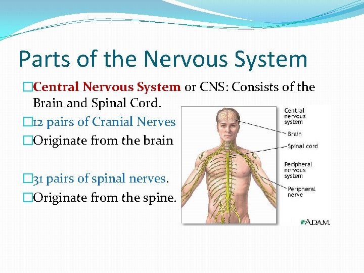 Parts of the Nervous System �Central Nervous System or CNS: Consists of the Brain