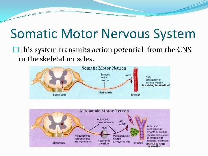 Somatic Motor Nervous System �This system transmits action potential from the CNS to the