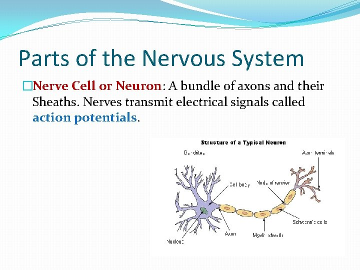 Parts of the Nervous System �Nerve Cell or Neuron: A bundle of axons and