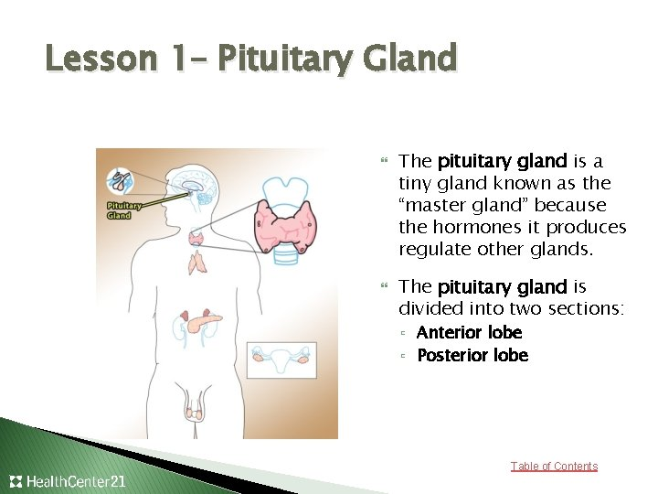 Lesson 1– Pituitary Gland The pituitary gland is a tiny gland known as the
