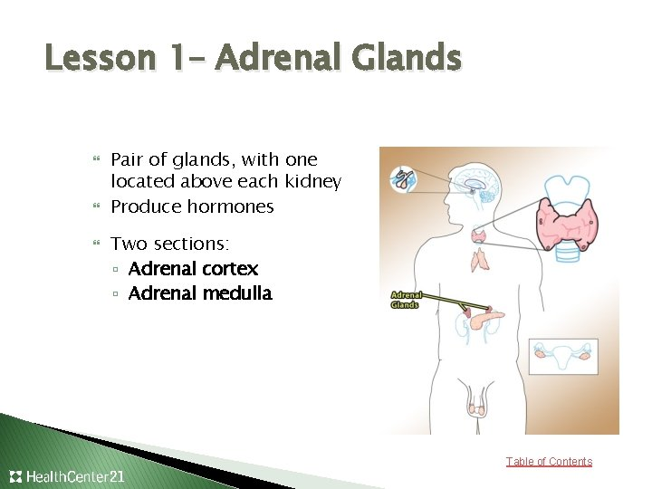 Lesson 1– Adrenal Glands Pair of glands, with one located above each kidney Produce