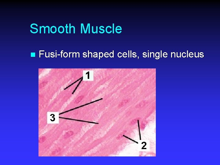 Smooth Muscle n Fusi-form shaped cells, single nucleus