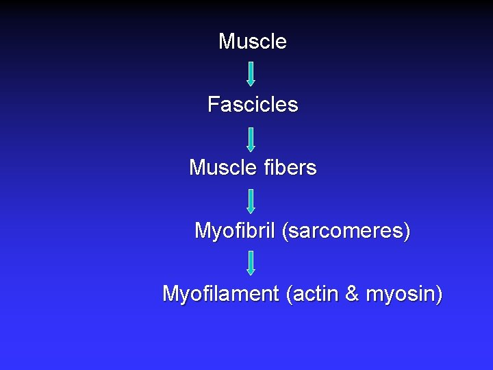 Muscle Fascicles Muscle fibers Myofibril (sarcomeres) Myofilament (actin & myosin)
