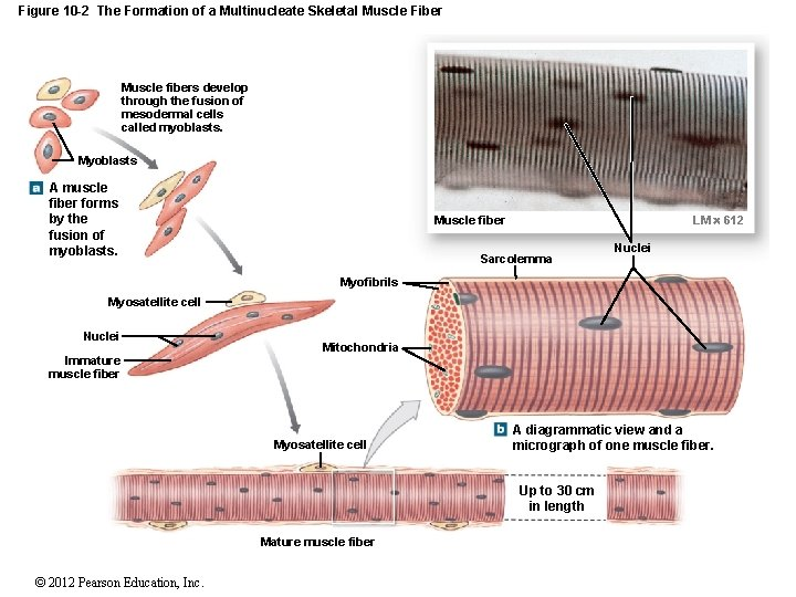 Figure 10 -2 The Formation of a Multinucleate Skeletal Muscle Fiber Muscle fibers develop