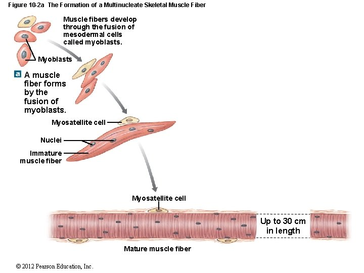 Figure 10 -2 a The Formation of a Multinucleate Skeletal Muscle Fiber Muscle fibers