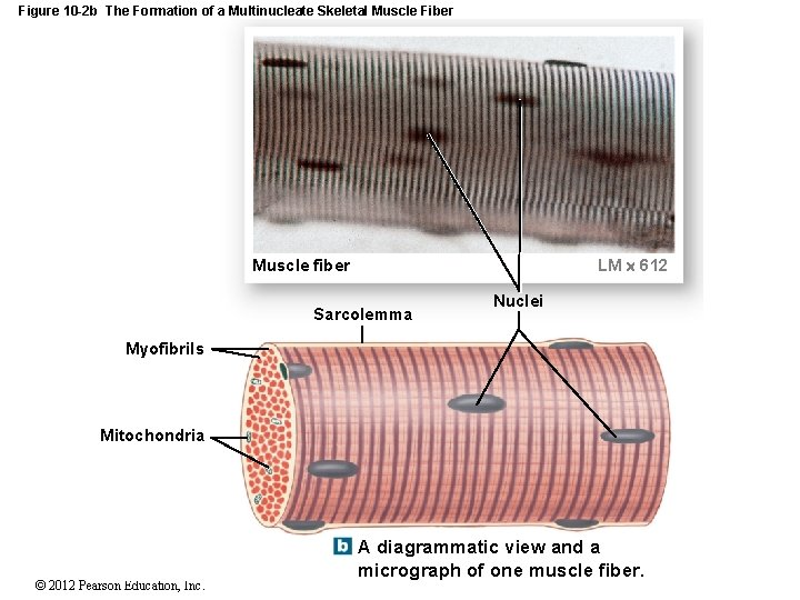 Figure 10 -2 b The Formation of a Multinucleate Skeletal Muscle Fiber LM 612
