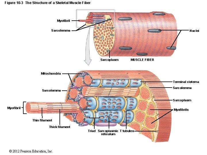Figure 10 -3 The Structure of a Skeletal Muscle Fiber Myofibril Sarcolemma Nuclei Sarcoplasm