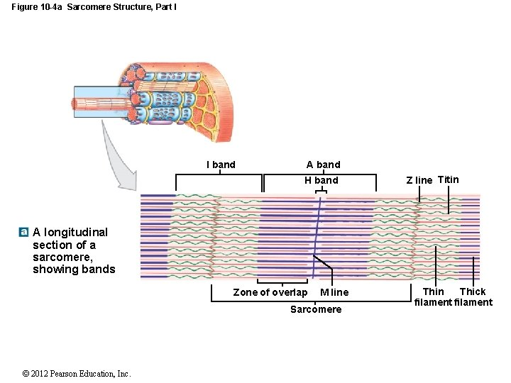 Figure 10 -4 a Sarcomere Structure, Part I I band A band H band