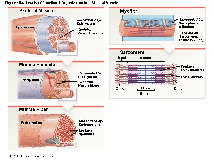 Figure 10 -6 Levels of Functional Organization in a Skeletal Muscle Myofibril Surrounded by:
